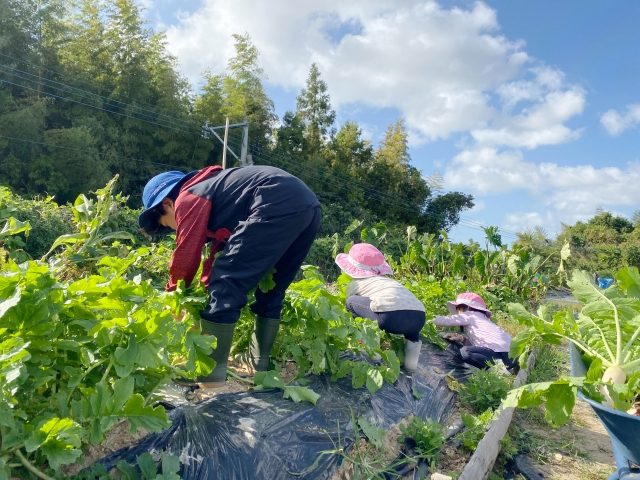野菜収穫画像