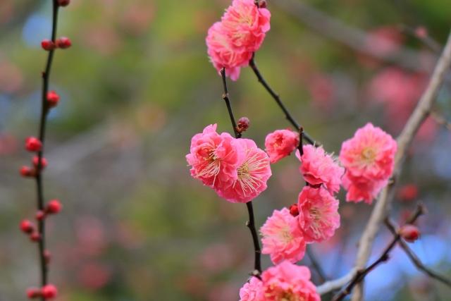 四季の森公園 紅梅画像