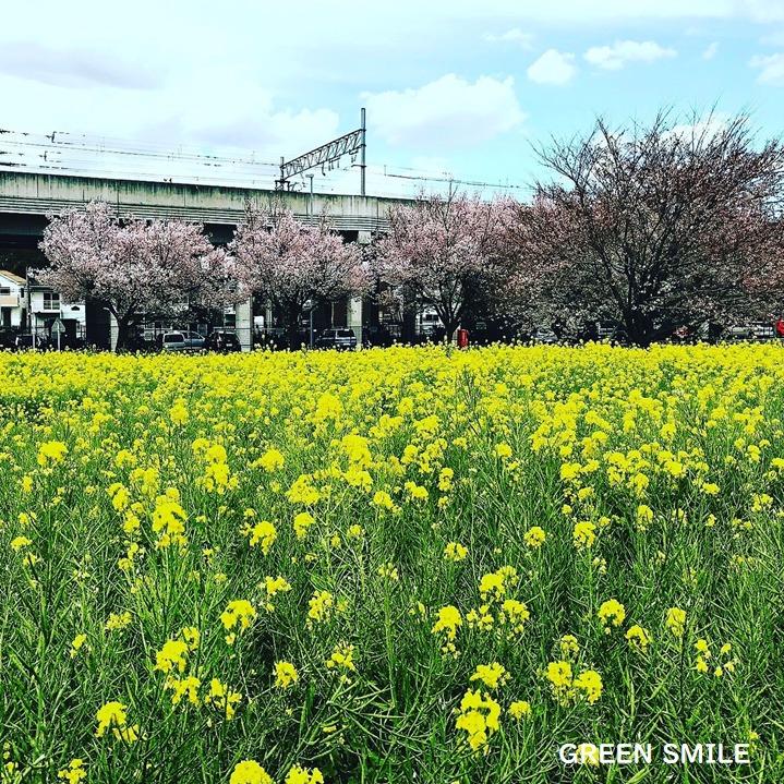 川和町駅前 菜の花畑
