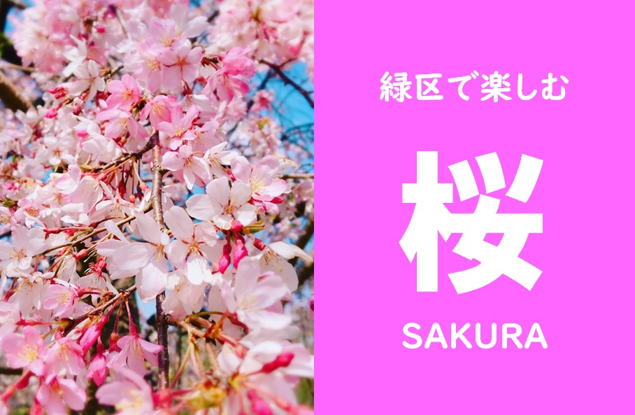 横浜市緑区で楽しむ【桜】特集!