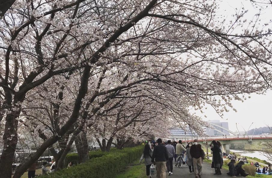 鶴見川桜道(鴨居エリア)